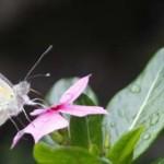 01 Butterfly on flower butterfly in Nepal