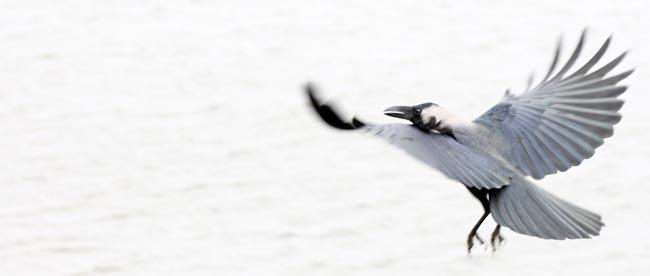 01 flying crow