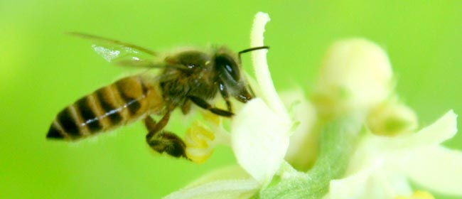 01 honey bee collecting nectar from flower