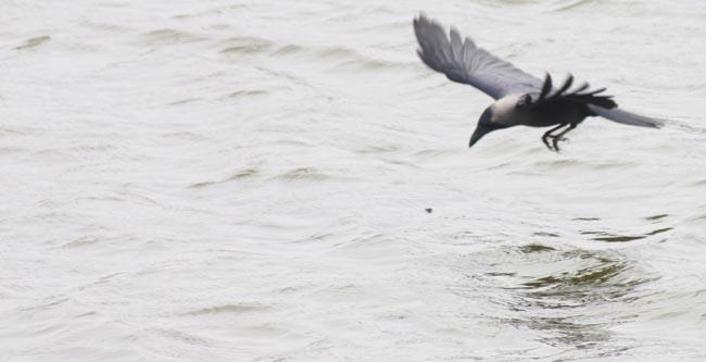 02 flying crow