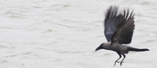 03 flying crow