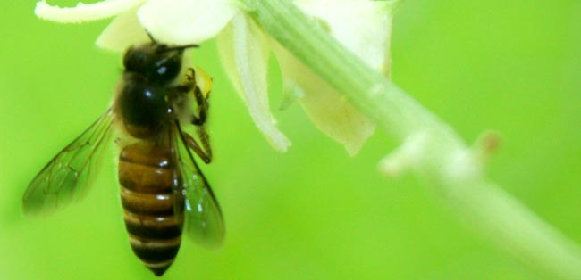 03 honey bee collecting nectar from flower