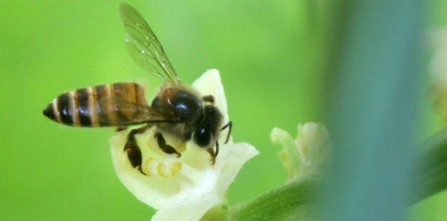 04 honey bee collecting nectar from flower