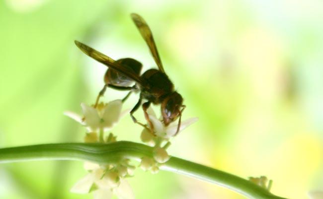 Black Beetle enjoying nectar (1)