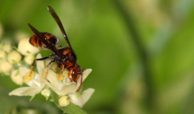 Black Beetle enjoying nectar (2)
