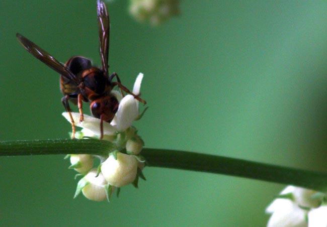 Black Beetle enjoying nectar (3)