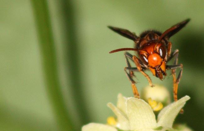 Black Beetle enjoying nectar (4)