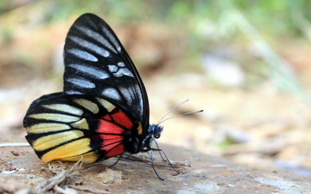 01 Colorful Butterfly in Nepal