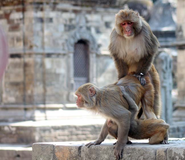 01-Double-Role-_-Monkey-Having-Sex-and-feeding-child