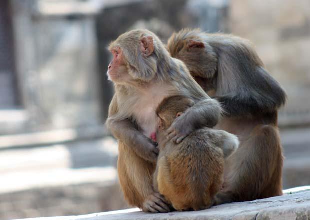02-Double-Role-_-Monkey-Having-Sex-and-feeding-child