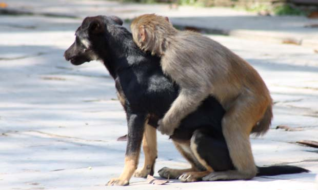 Dog & Monkey having sex 2