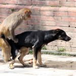 Dog & Monkey having sex 3