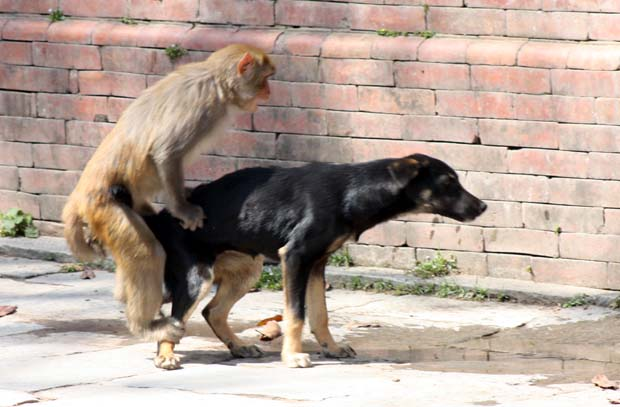 Dog & Monkey having sex 3