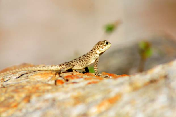 01 Beautiful Lizard in Tanahun near Aanbukhairani