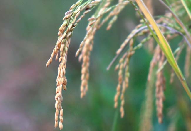 01 Paddy rice. Rice crop ready for harvest.Dhan Dhana cavala