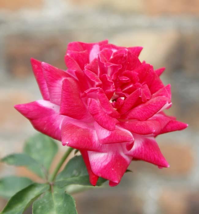 01 Rose