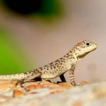 02 Beautiful Lizard in Tanahun near Aanbukhairani