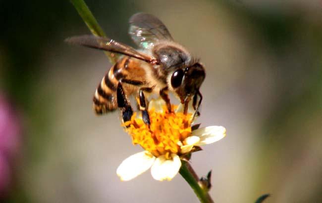 02 Honey Bee collecting nectar in Balkhu Kathmandu