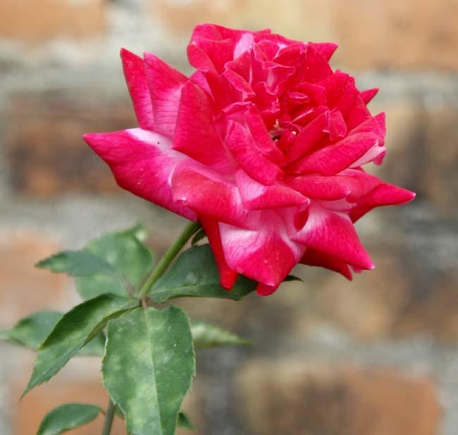 02 Rose