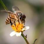 03 Honey Bee collecting nectar in Balkhu Kathmandu