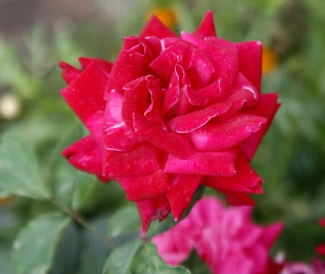 03 Rose