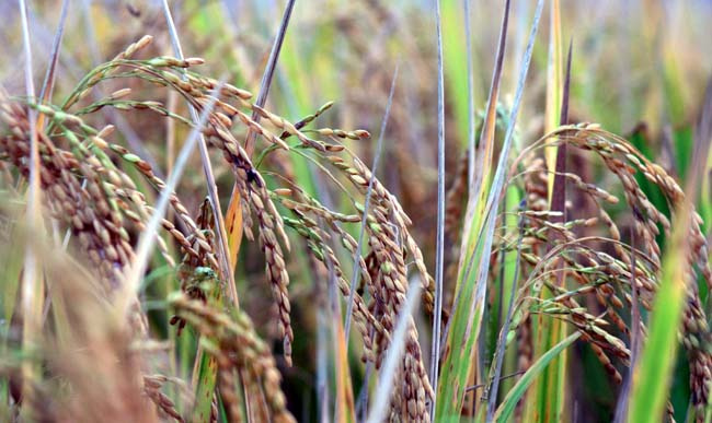 06 Paddy rice. Rice crop ready for harvest.Dhan Dhana cavala