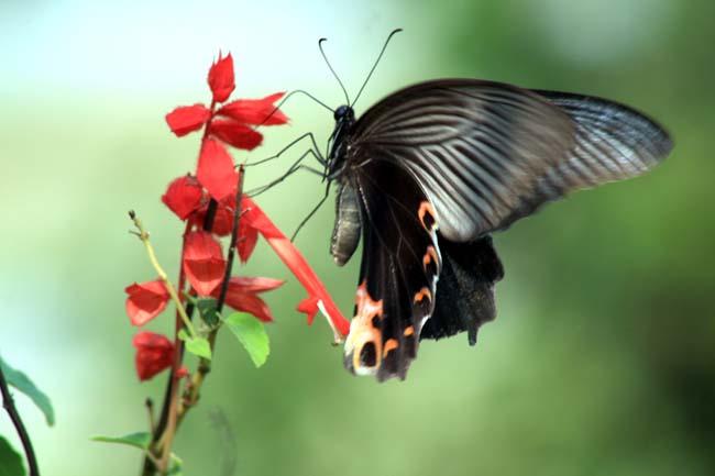 Black Butterfly get pleasure from flower in Tanahun Nepal