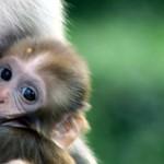 monkey-breast-feeding-2