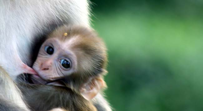 monkey-breast-feeding-2