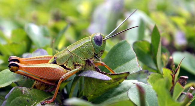 01 Grasshopper on grass