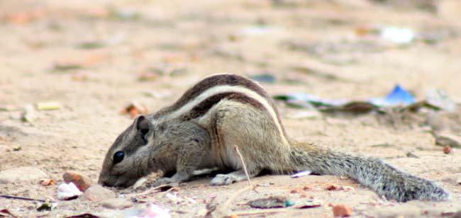 01 Squirrel in Kathmandu Nepal Lokherke लोखर्के