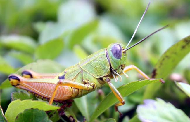 02 Grasshopper on grass