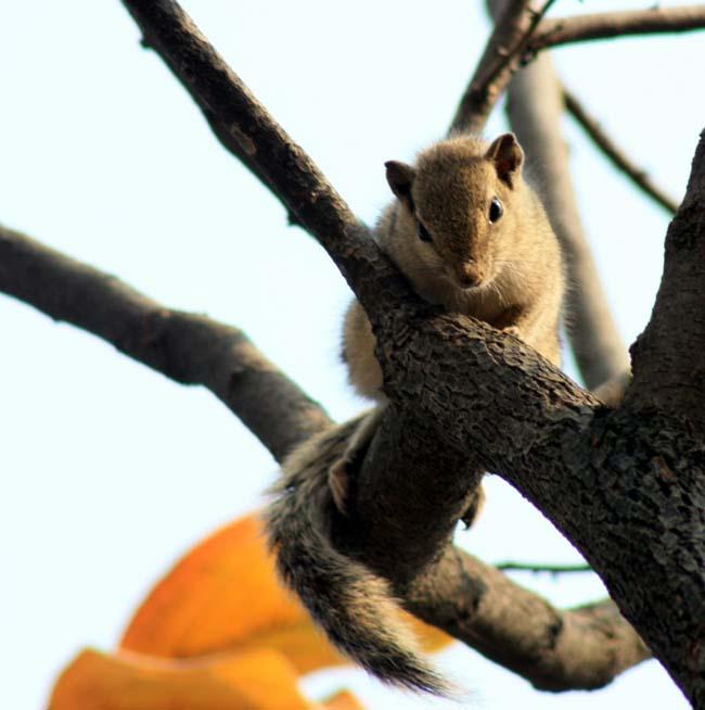 02 Squirrel in Kathmandu Nepal Lokherke लोखर्के