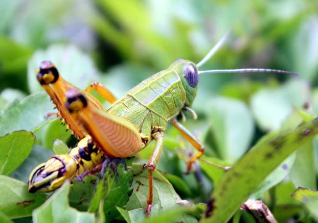 03 Grasshopper on grass