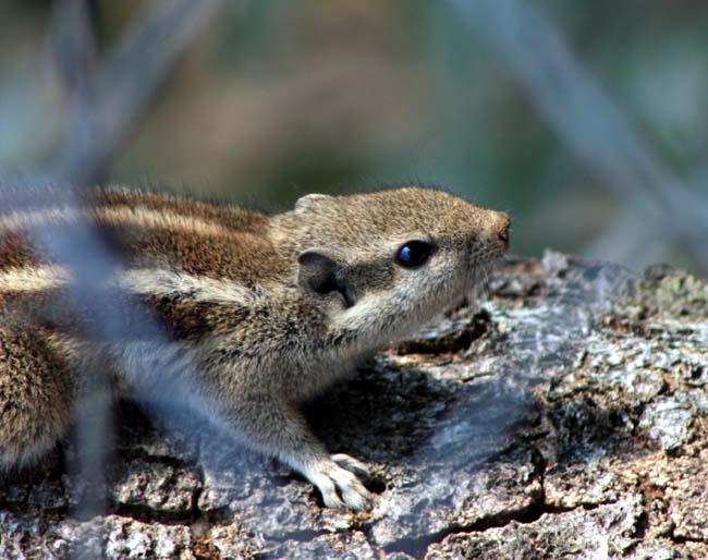 03 Squirrel in Kathmandu Nepal Lokherke लोखर्के