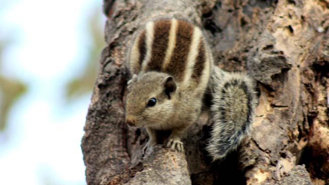 04 Squirrel in Kathmandu Nepal Lokherke लोखर्के