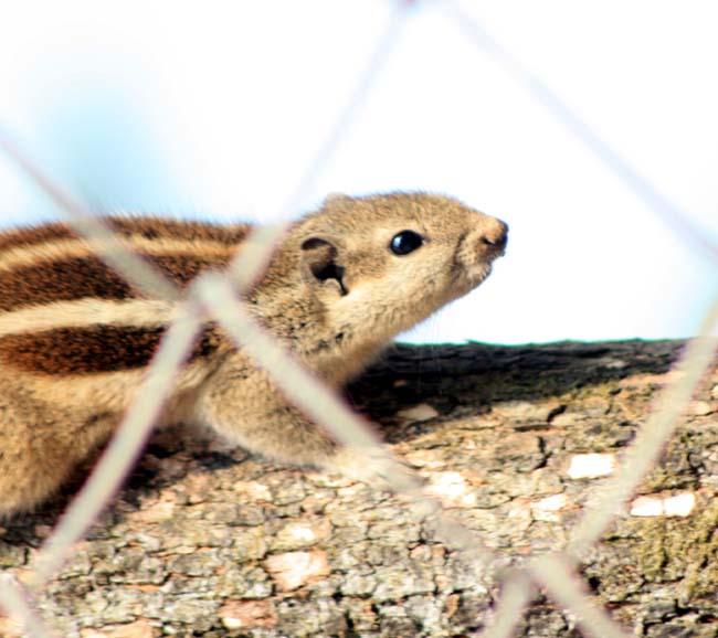 05 Squirrel in Kathmandu Nepal Lokherke लोखर्के