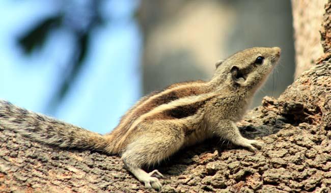 07 Squirrel in Kathmandu Nepal Lokherke लोखर्के