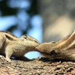 08 Squirrel in Kathmandu Nepal Lokherke लोखर्के