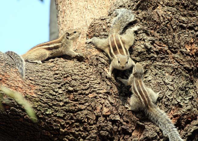 09 Squirrel in Kathmandu Nepal Lokherke लोखर्के