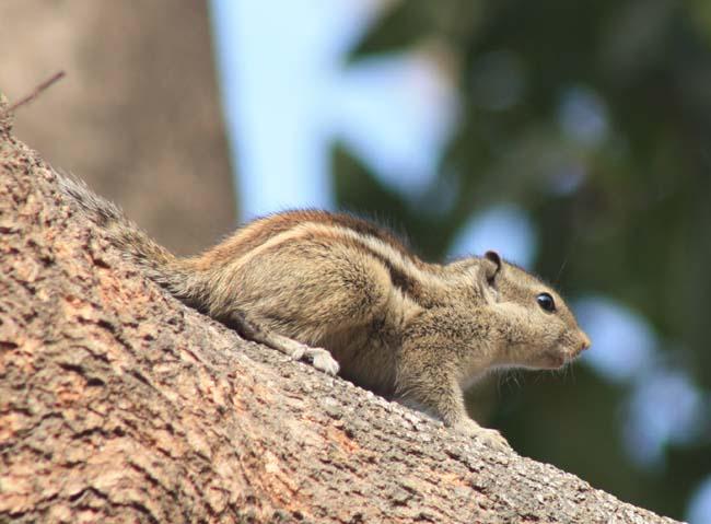 10 Squirrel in Kathmandu Nepal Lokherke लोखर्के