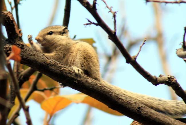 11 Squirrel in Kathmandu Nepal Lokherke लोखर्के