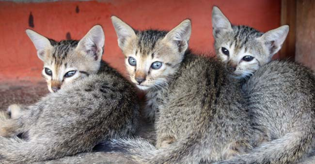 02 Small Babay Cats in Nepal
