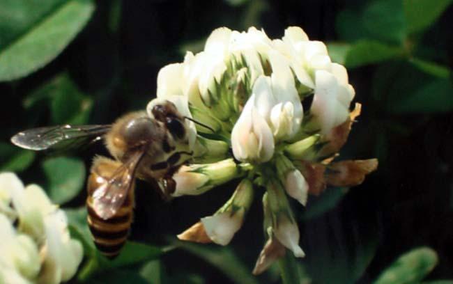 01 Bee Collecting Honey