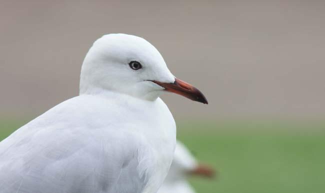 01 Silver Gull in Sydney (Seagull) Birds in Sydney NSW Australia