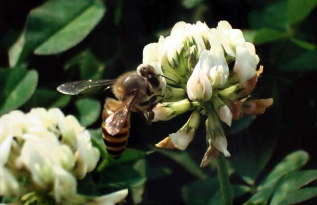 02 Bee Collecting Honey