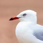 02 Silver Gull in Sydney (Seagull) Birds in Sydney NSW Australia