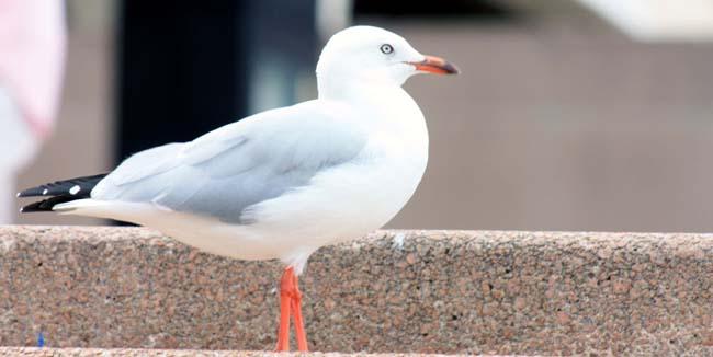 03 Silver Gull in Sydney (Seagull) Birds in Sydney NSW Australia
