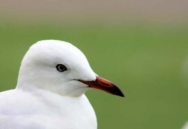 04 Silver Gull in Sydney (Seagull) Birds in Sydney NSW Australia