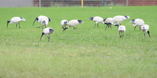 Australian White Ibis Birds in Sydney  (1)